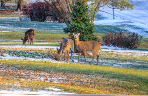 Doe with two young calf in front of tree decorated for Christmas