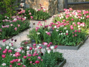 A beautiful tulip garden designed by Ambrosio Landscape Solutions