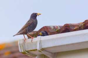 bird on a homes gutters