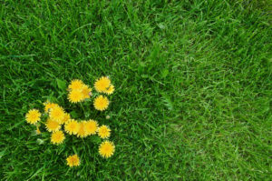 dandelions on the lawn