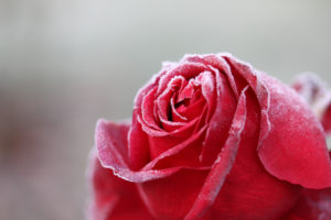 Petals of a frozen rose