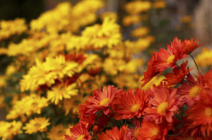 Bright red and yellow flowers
