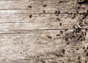 Ants on old timber