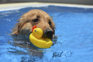 Dog holding rubber duck in mouth in pool