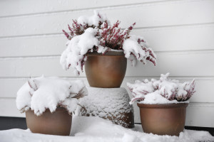 Snow covering potted plants