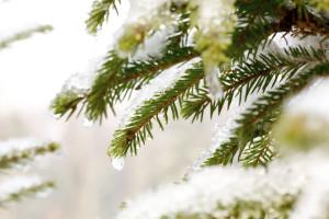 Evergreens | Winter Landscape Design Westport CT | New Canaan CT