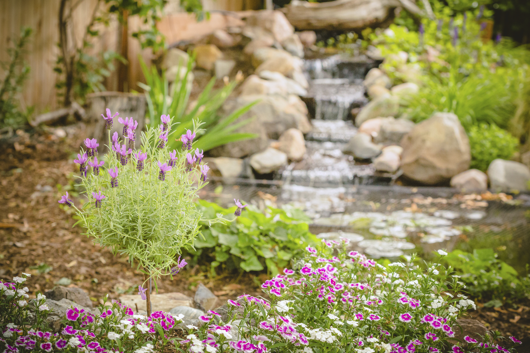 Lavender and dianthus in the back yard flower garden with a small pond and waterfall in the background. No people in image. High resolution color photograph with horizontal composition.