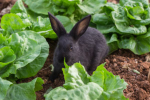 rabbit eating in a garden