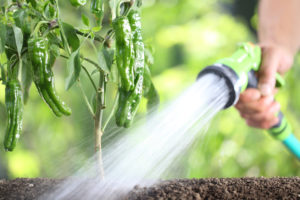 Person watering pepper plant with hose